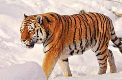 tijger - foto Tambako The Jaguar